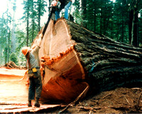 Old Growth Logging by Danny Collins