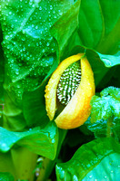 Skunk Cabbage Pod
