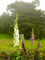 Fox Gloves in the Fog