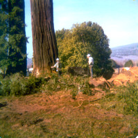 Tree being felled on a ranch in Blue Lake, Ca c.1977