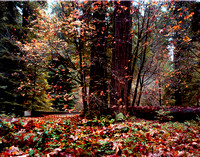 Fall in The Redwoods