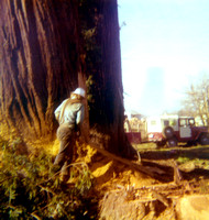 Bill Nichols falling a Redwood tree on a ranch in Blue Lake, Ca c.1977