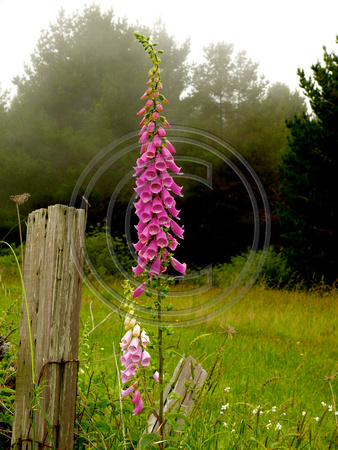 Fox Gloves