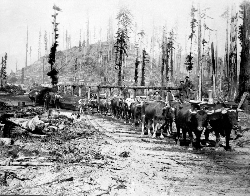 The Old Photo Guy Historical Logging Oxen Team