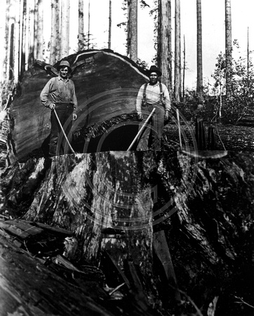 Two loggers felling a redwood tree