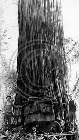 Putting in the undercut of a Redwood tree