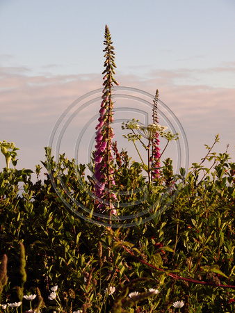 Foxy Foxgloves