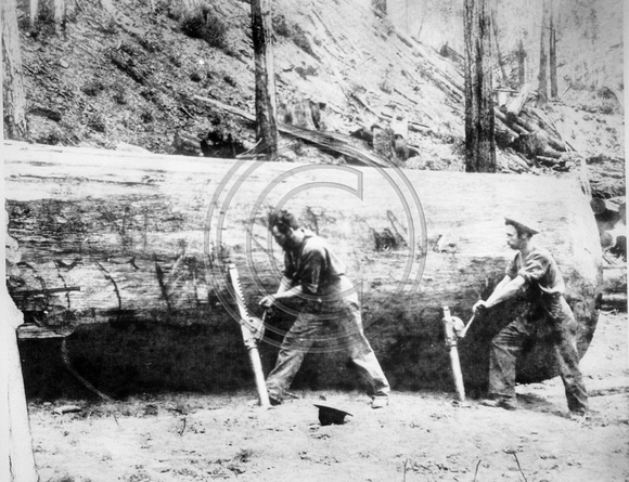 Little River lumber jacks rolling a log with jacks
