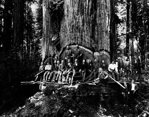 19 Loggers posing in the undercut a Redwood tree