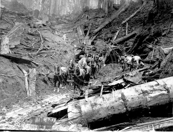 Horse Team logging in the woods at Little River, California