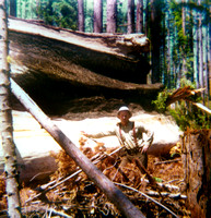 1975 Bill Nichols falling a large Redwood snag