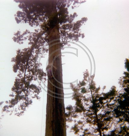Rigging a tree 1970's